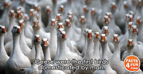 Geese were the first birds domesticated by man.