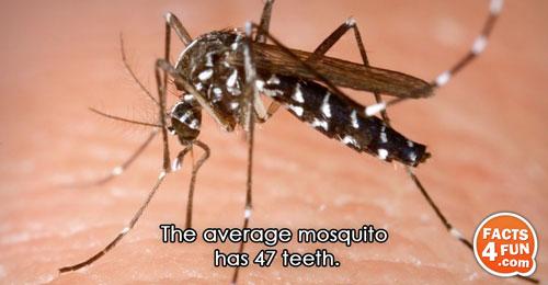 The average mosquito has 47 teeth.