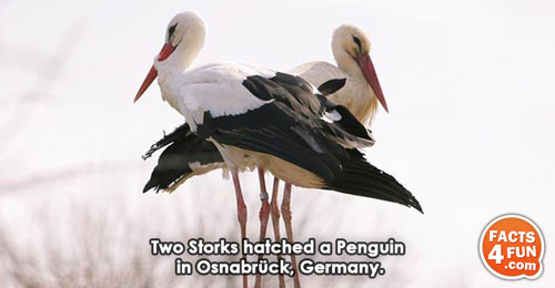 Two Storks hatched a Penguin in Osnabrück, Germany.