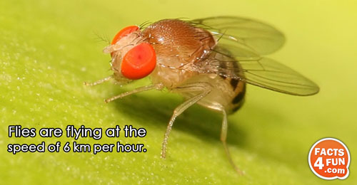 Flies are flying at the speed of 6 km per hour.