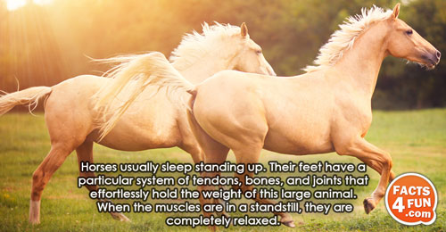Horses usually sleep standing up. Their feet have a particular system of tendons, bones, and joints