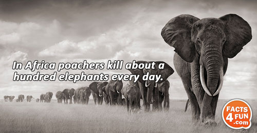 In Africa poachers kill about a hundred elephants every day.