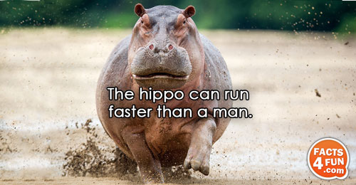 The hippo can run faster than a man.