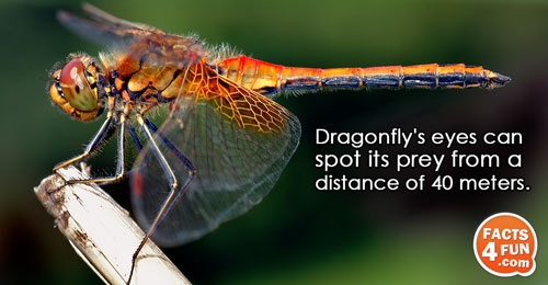 Dragonfly's eyes can spot its prey from a distance of 40 meters.
