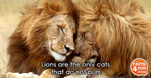 Lions are the only cats that do not purr.