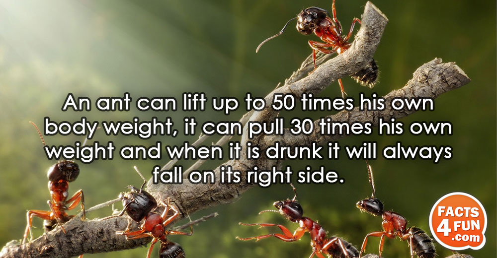 An ant can lift up to 50 times his own body weight, it can pull 30