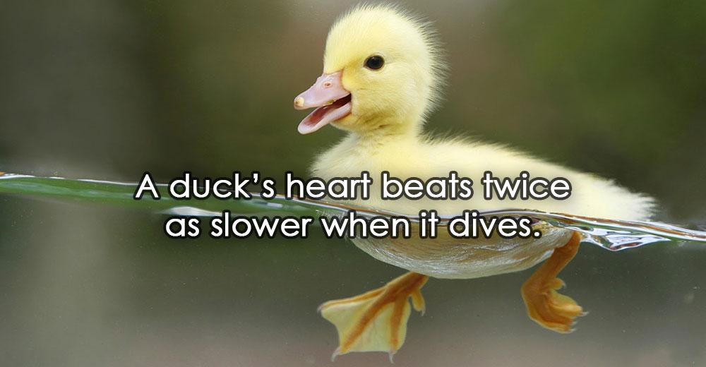 A duck's heart beats twice as slower when it dives.