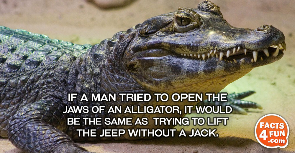 If a man tried to open the jaws of an alligator, it would be the same