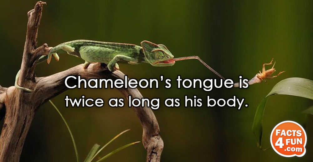 Chameleon's tongue is twice as long as his body.