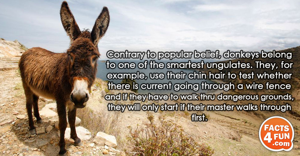 Contrary to popular belief, donkeys belong to one of the smartest ungulates. They, for example, use