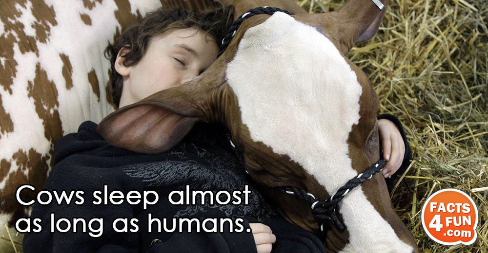 Cows sleep almost as long as humans.