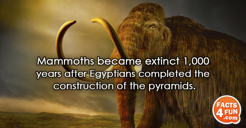 Mammoths became extinct 1,000 years after Egyptians completed the construction of the pyramids.