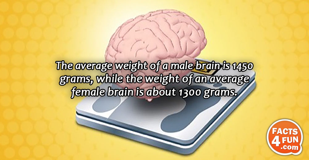 The average weight of a male brain is 1450 grams, while the weight of an average