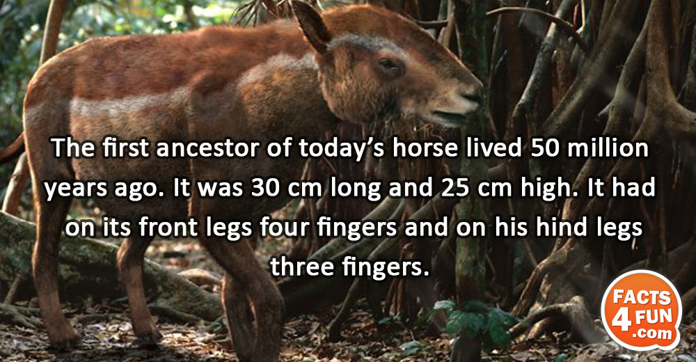 The first ancestor of today's horse lived 50 million years ago. It was 30 cm long
