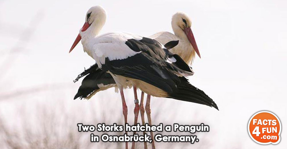 Two Storks hatched a Penguin in Osnabrück, Germany.